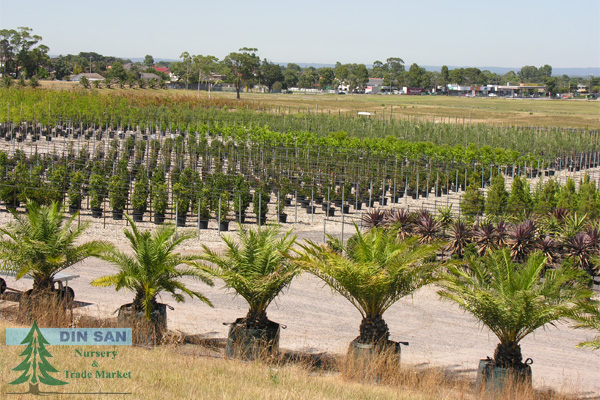 Advanced trees din san nurseries product ods for Soft landscape materials