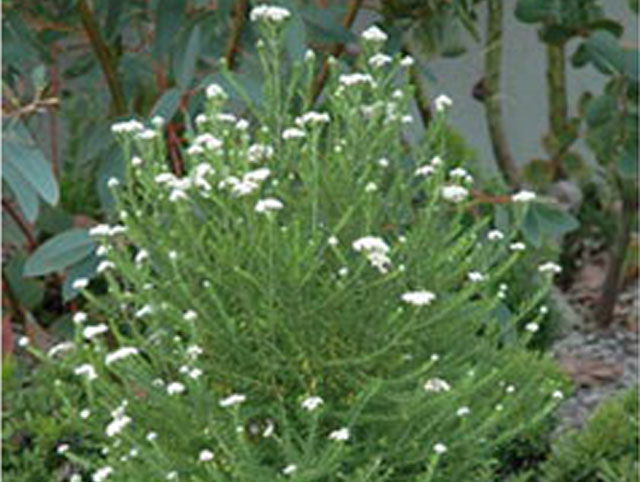 Ozothamnus diosmifolius radiance product ods for Soft landscape materials