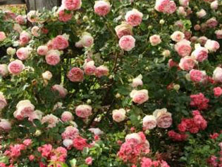 Leading Rose Supplier | TreloarImageOne | ODS