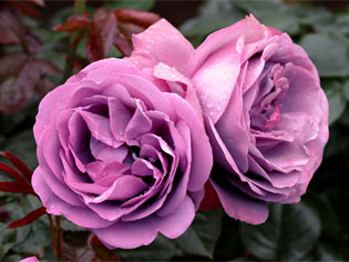 Leading Rose Supplier | TreloarImageThree | ODS