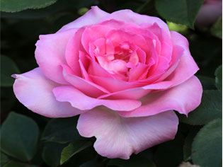 Leading Rose Supplier | TreloarImageTwo | ODS