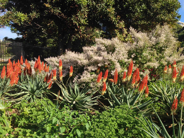 Aloes Ain't Aloes | aloe1-2016062814670913857395 | ODS