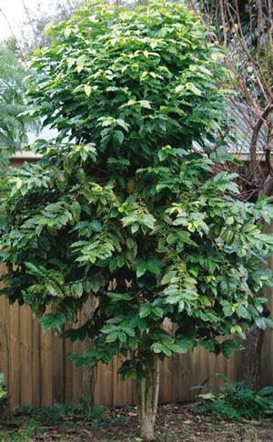 Caffeine hit for plants | caffeine2 | ODS