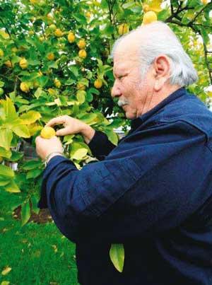 Lemon tree, very pretty... | lemon1 | ODS
