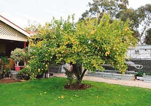 Lemon tree, very pretty... | lemon2 | ODS