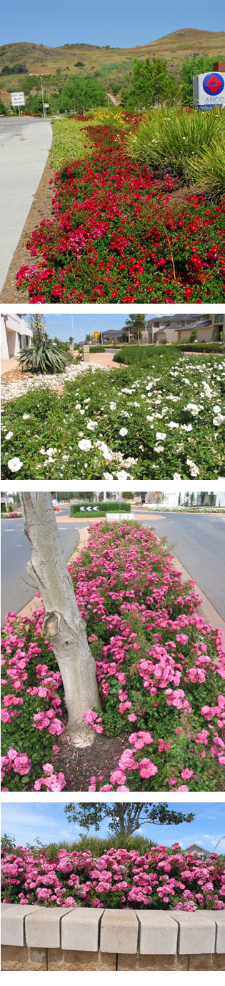 Flower Carpet® Roses - for the top-end look | march_tesselaar_article | ODS