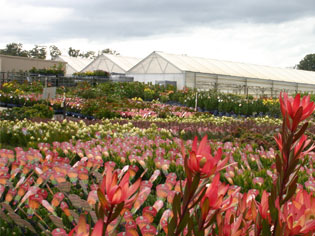 Proteaflora - The Protea Experts | nursery-story | ODS