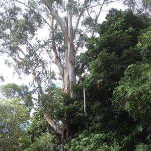 Planting under Eucalypts