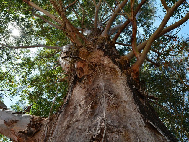 Birds use old eucalypts as places to perch or nest