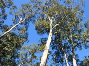 Why are Old Eucalypts Worth Saving?