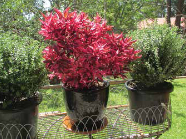 Brazilian Red Hots Product Ods